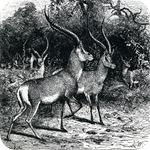 josephwolf-grantsgazelle
